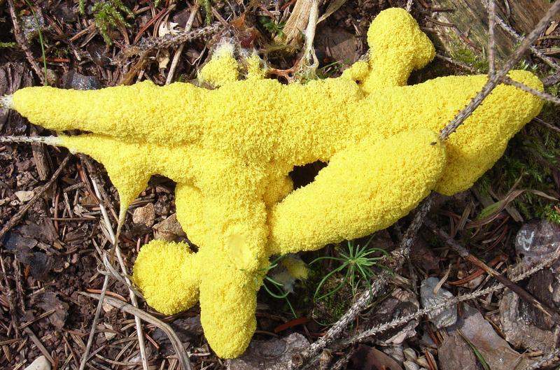 Yellowslimemold
